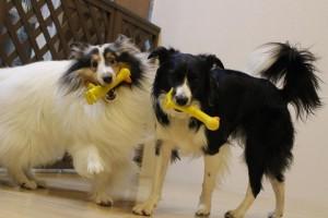 武蔵野市,犬のしつけ,シェルティー ボーダーコリー おもちゃ遊び 2頭