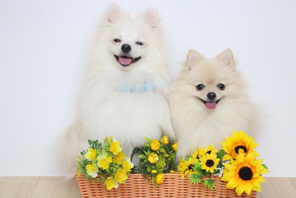 ポメラニアン  犬 しつけ トレーニング お誕生日 2頭