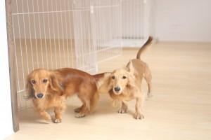 犬の保育園 ミニチュアダックスフンド 2頭 しつけ トレーニング