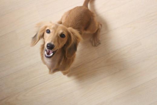 ミニチュアダックスフンド 犬の保育園 バウビー しつけ トレーニング お座り