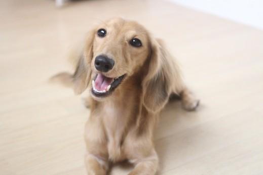 犬の保育園 バウビー ミニチュアダックスフンド 伏せ しつけ トレーニング