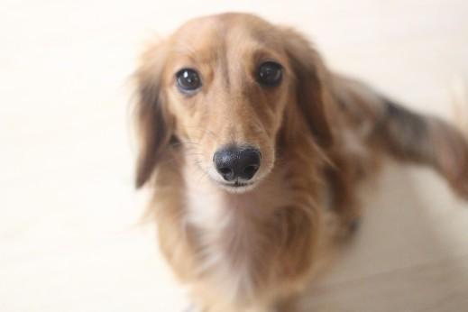 ミニチュアダックスフンド おすわり 犬の保育園 バウビー