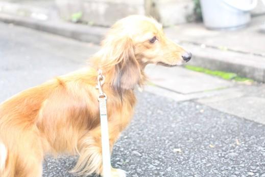 ミニチュアダックスフンド 犬の保育園 バウビー しつけ お散歩