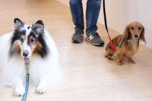 シェルティー ミニチュアダックスフンド 2頭 犬の保育園 バウビー しつけ トレーニング