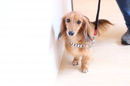 ミニチュアダックスフンド 犬の保育園 バウビー しつけ トレーニング