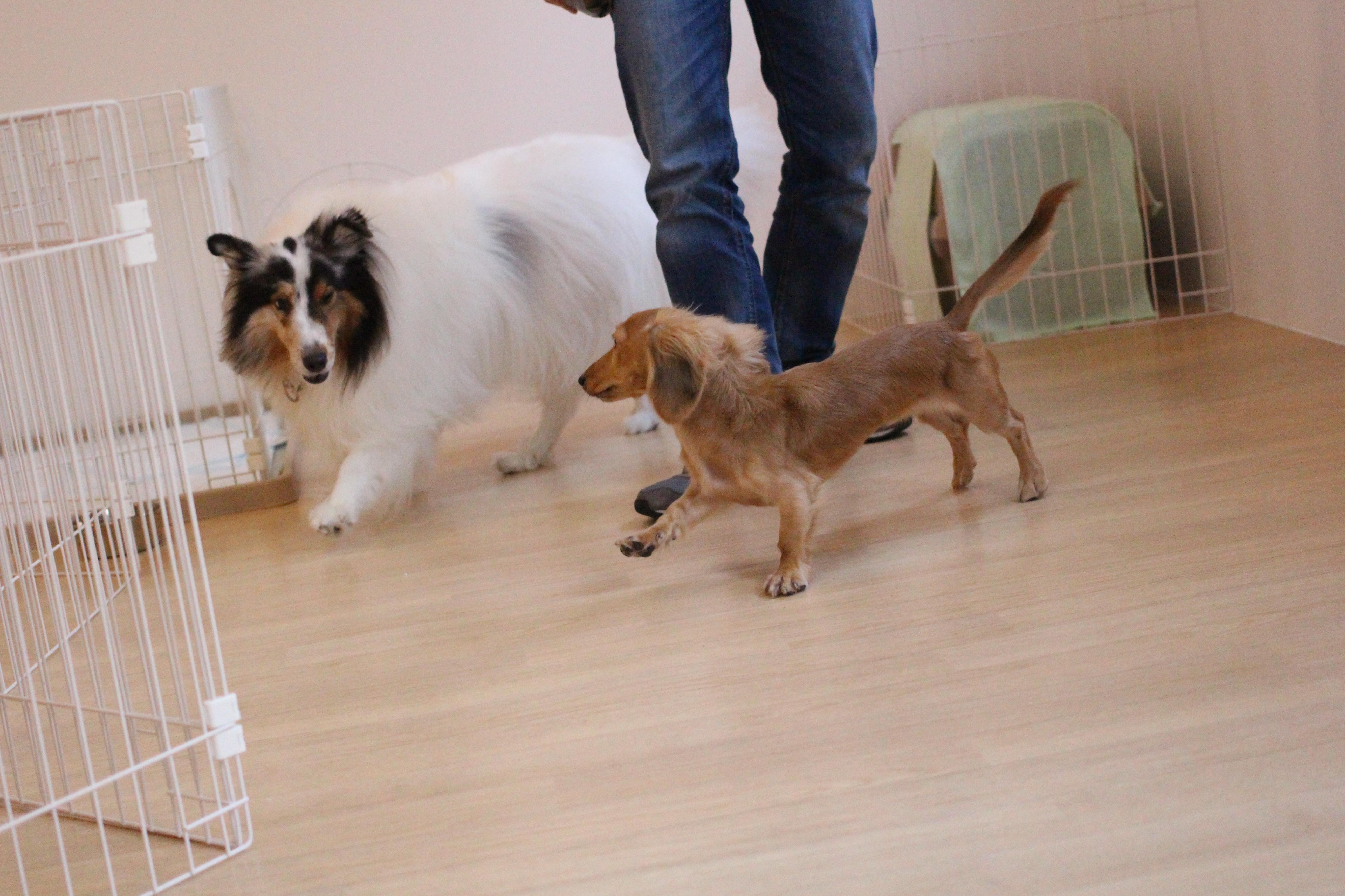ミニチュアダックスフンド 犬の保育園 バウビー しつけ シェルティー 2頭