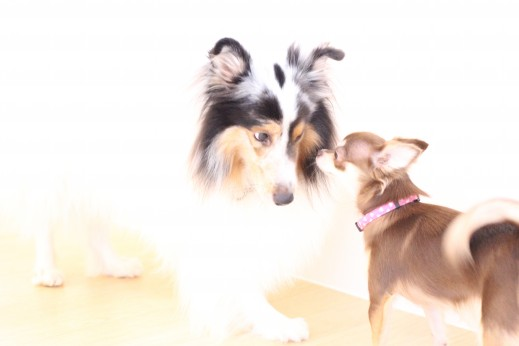チワワ シェルティー 2頭 犬の保育園 バウビー しつけ トレーニング