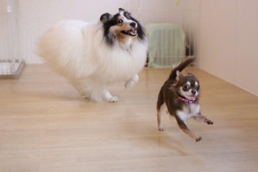 チワワ シェルティー 遊び 犬の保育園 バウビー しつけ トレーニング