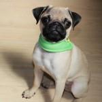 パグ お座り 犬の保育園 しつけ トレーニング バウビー