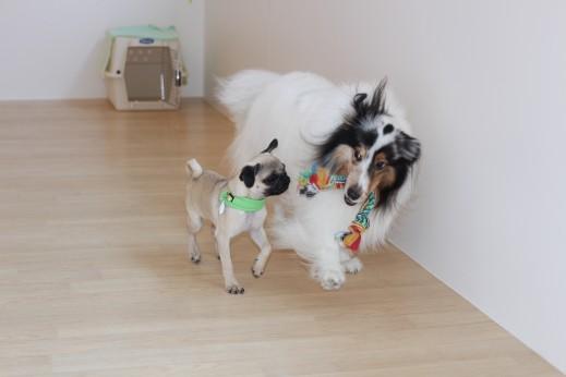 パグ シェルティー 犬の保育園 しつけ トレーニング  バウビー おもちゃ遊び 2頭