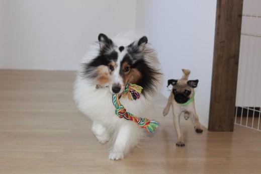 パグ シェルティー 犬の保育園 しつけ トレーニング  バウビー おもちゃ遊び