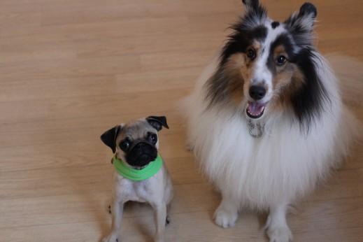 パグ シェルティー おすわり 2頭 犬の保育園 しつけ トレーニング バウビー 三鷹