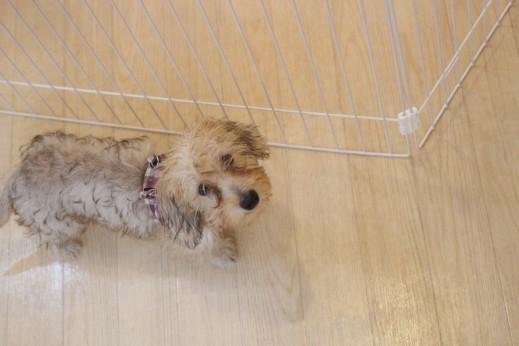ワイヤーヘアードミニチュアダックスフンド 犬の保育園 バウビー しつけ トレーニング お散歩練習