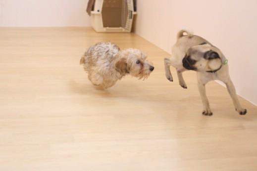 パグ ワイヤーヘアードミニチュアダックスフンド 犬の保育園 バウビー しつけ  トレーニング 遊び