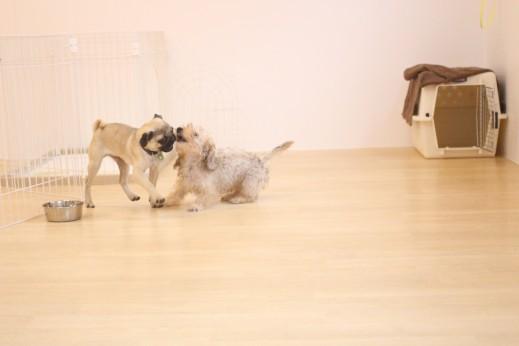 パグ ワイヤーヘアードミニチュアダックスフンド 犬の保育園