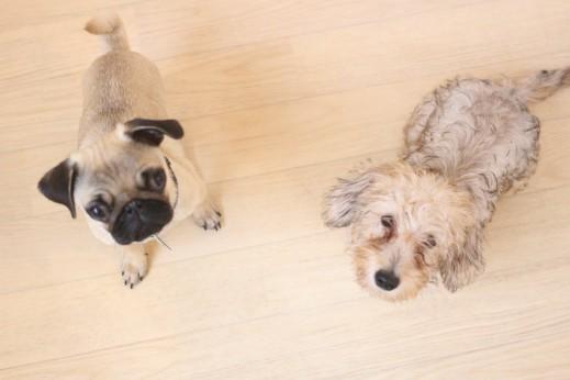 パグ ワイヤーヘアードミニチュアダックスフンド 犬の保育園 バウビー しつけ  トレーニング おすわり