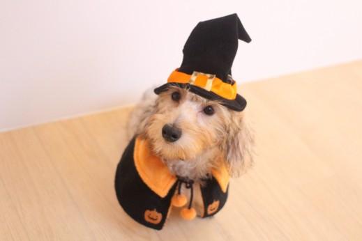 ワイヤーヘアードミニチュアダックスフンド 犬の保育園 バウビー しつけ トレーニング ハロウィン 仮装
