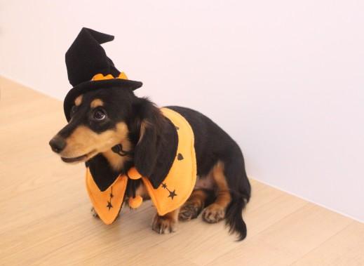 ミニチュアダックスフンド 犬の保育園 バウビー しつけ トレーニング ハロウィン 仮装