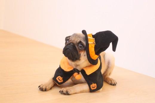 パグ 犬の保育園  バウビー  しつけ トレーニング ハロウィン 仮装