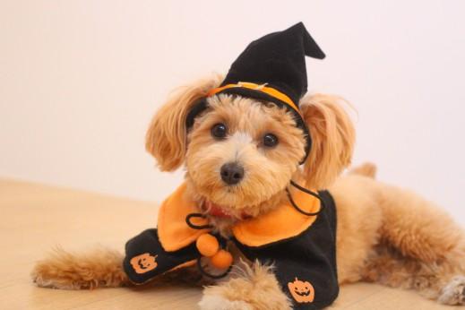 トイプードル マルチーズ 犬の保育園  バウビー  しつけ トレーニング ハロウィン 仮装