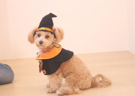 マルチーズ 犬の保育園 バウビー しつけ トレーニング ハロウィン 仮装 トイプードル