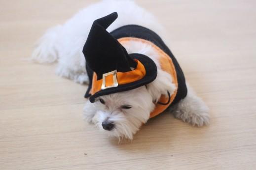 マルチーズ 犬の保育園バウビー しつけ トレーニング ハロウィン 仮装