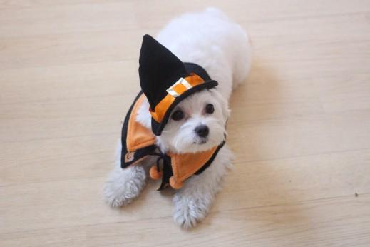 マルチーズ 犬の保育園  バウビー しつけ トレーニング ハロウィン 仮装