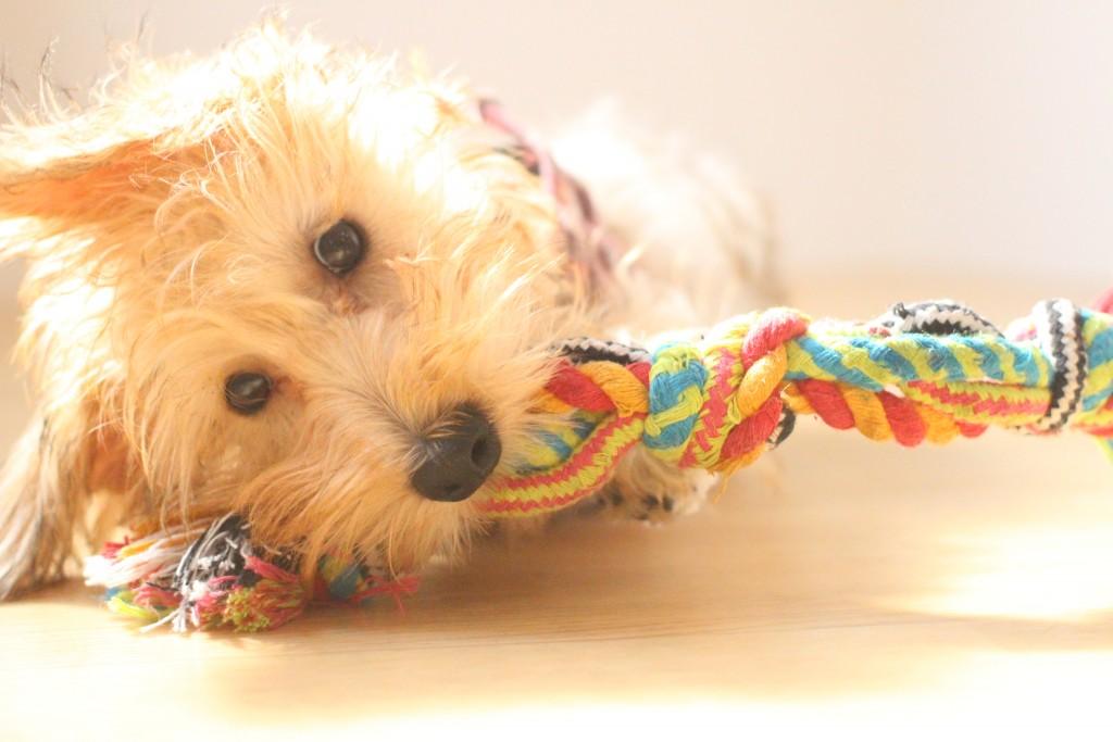 ワイヤーヘアードミニチュアダックスフンド 犬の保育園 バウビー しつけ トレーニング おもちゃ遊び
