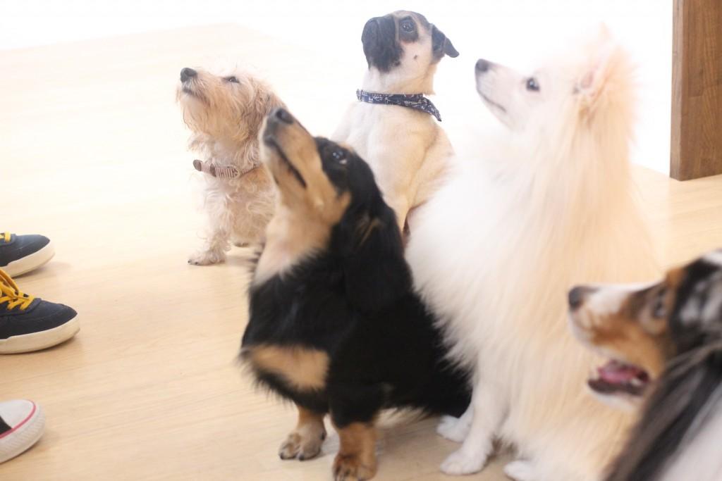 ポメラニアン ワイヤーヘアードミニチュアダックスフンドフンド パグ シェルティー 犬の保育園 バウビー しつけ トレーニング