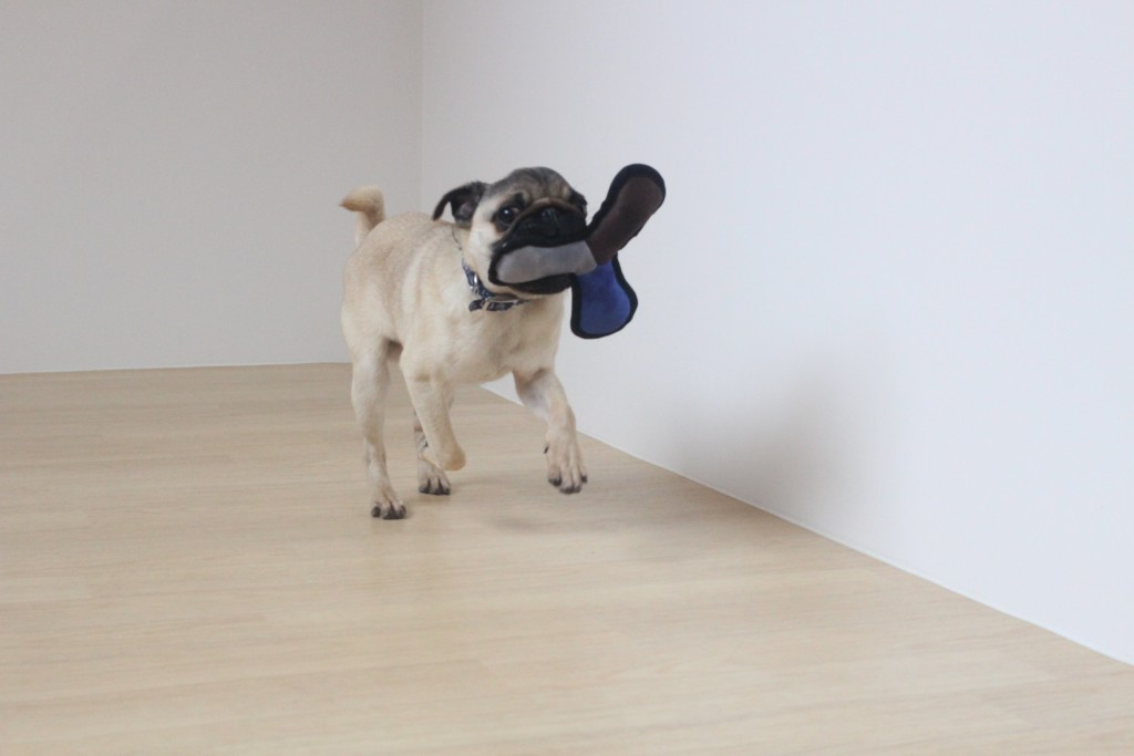パグ 犬の保育園 バウビー しつけ トレーニング おもちゃ遊び