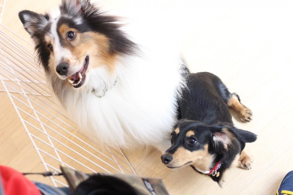 ダックス シェルティ 犬の保育園 バウビー オスワリ トレーニング しつけ