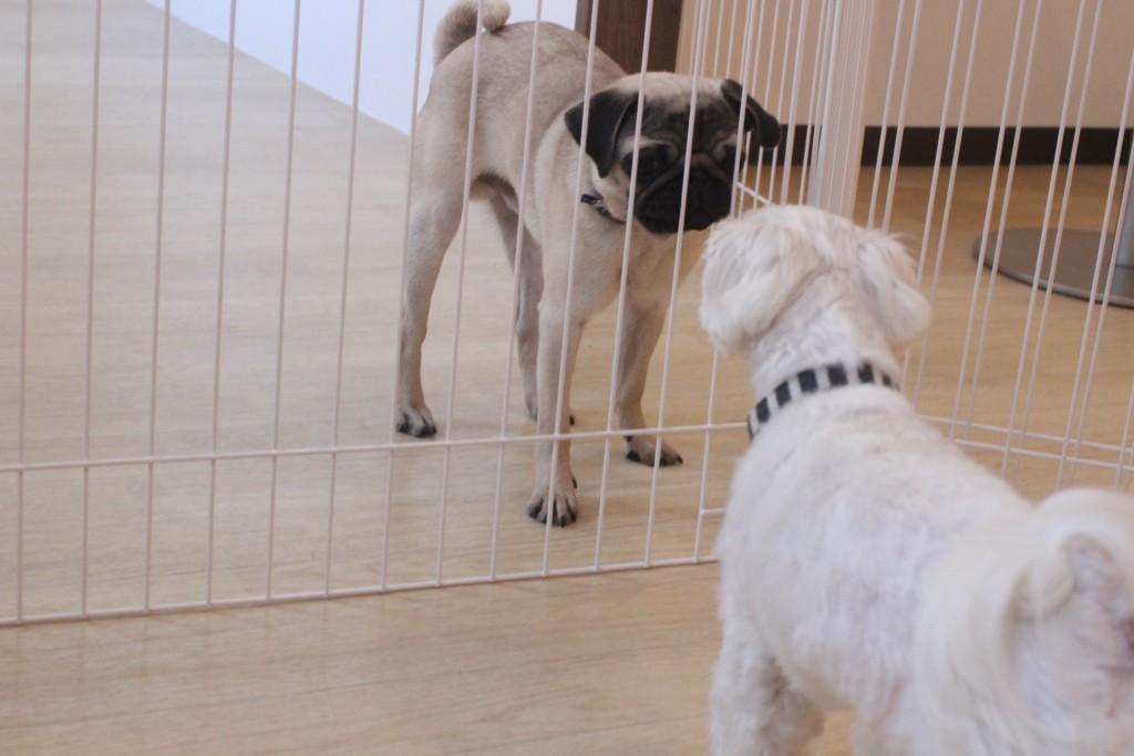 パグ マルチーズ 犬の保育園 バウビー しつけ トレーニング