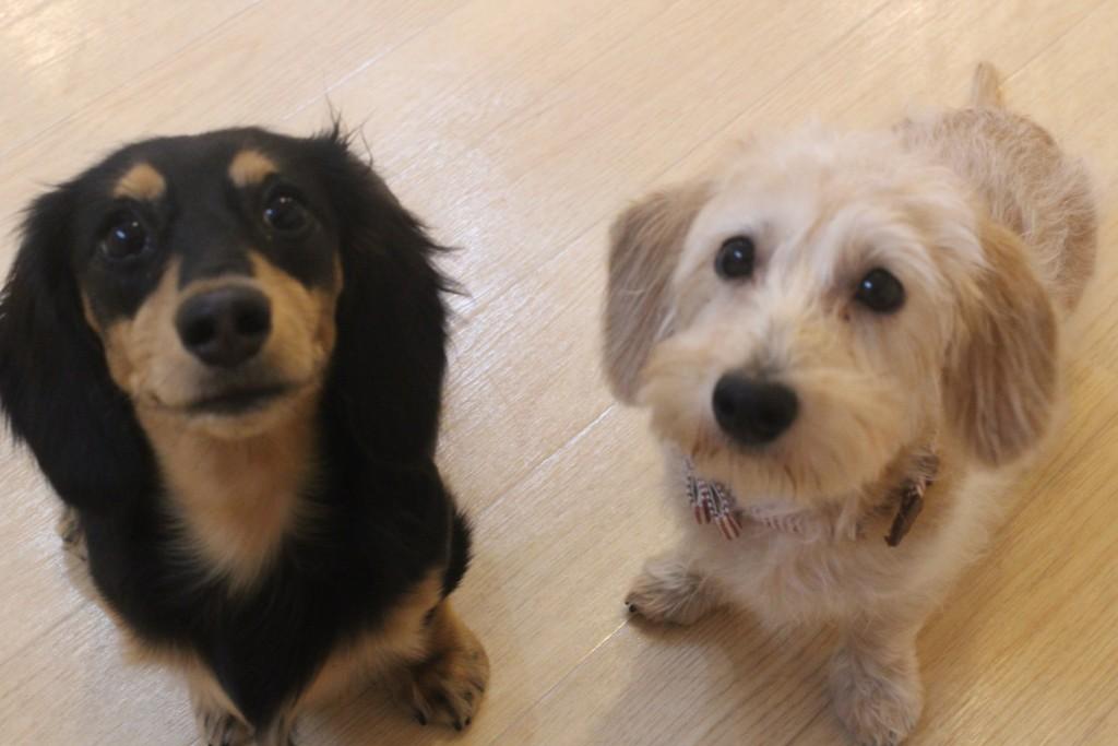 ワイヤーヘアードミニチュアダックスフンド 犬の保育園 バウビー しつけ  トレーニング  マテ練習 オスワリ
