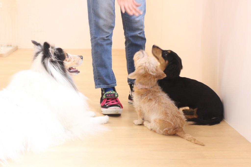 ワイヤーヘアードミニチュアダックスフンド 犬の保育園 バウビー しつけ トレーニング オスワリ