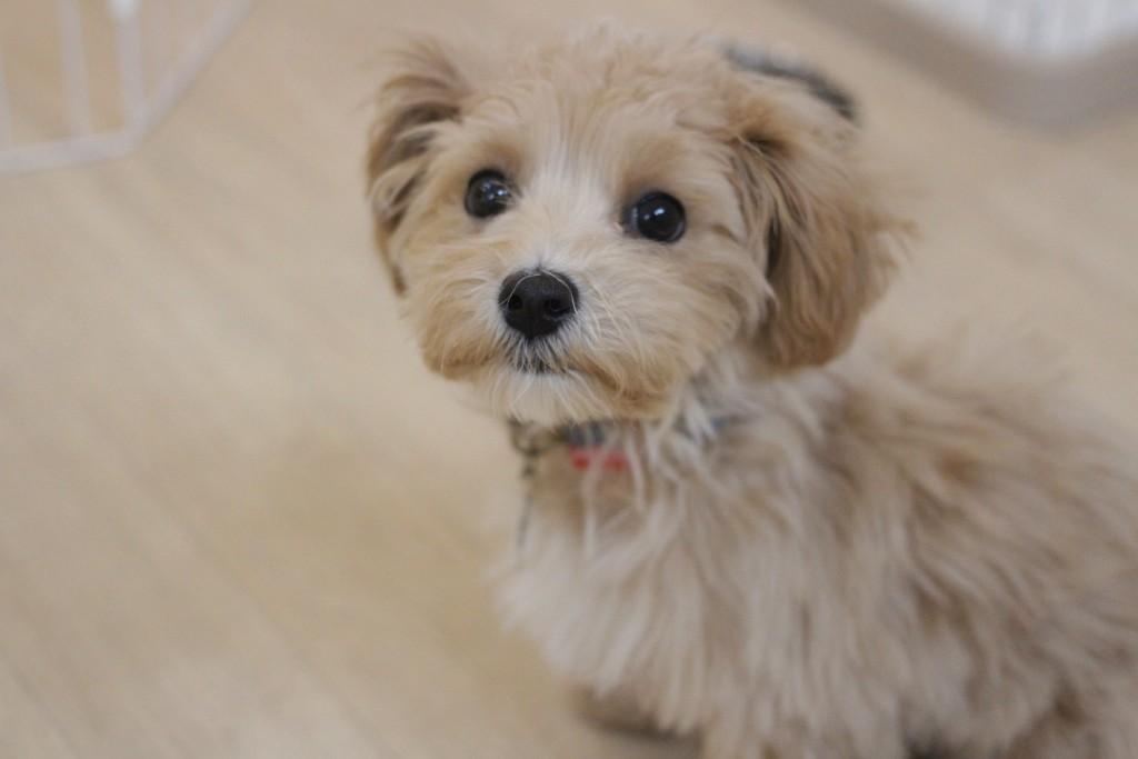マルチーズ トイプードル 犬の保育園 バウビー しつけ  トレーニング 新入生 人馴れ 環境慣れ
