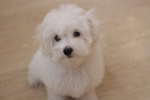 マルチーズ トイプードル MIX マルプー 犬の保育園 バウビー しつけ トレーニング オスワリ パピー 3か月
