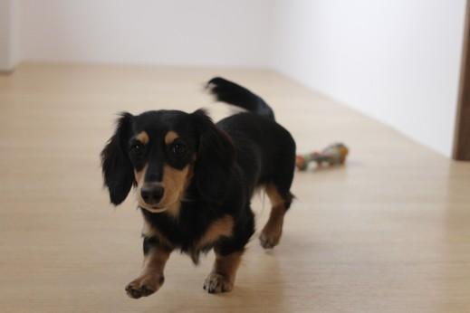 ミニチュアダックスフンド 犬の保育園 バウビー しつけ トレーニング おもちゃ遊び