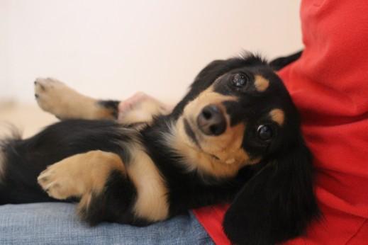 ミニチュアダックスフンド 犬の保育園 バウビー しつけ トレーニング リラックスポジション 歯磨き練習