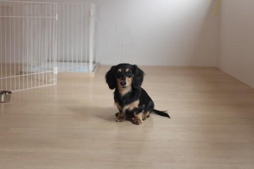 ミニチュアダックスフンド 犬の保育園 バウビー しつけ トレーニング マテの練習 オスワリ