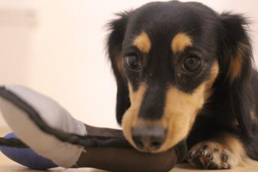 ミニチュアダックスフンド 犬の保育園 バウビー しつけ トレーニング おもちゃ遊び 三鷹 武蔵野 吉祥寺
