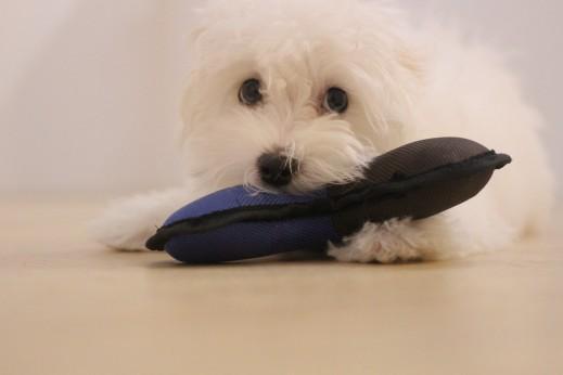 マルチーズ トイプードル MIX 犬の保育園 バウビー しつけ トレーニング おもちゃ遊び パピー 3か月