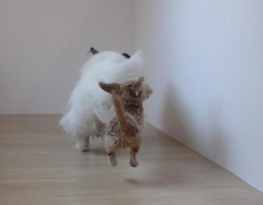 ワイヤーヘアードミニチュアダックスフンド 犬の保育園 バウビー しつけ  トレーニング  シェルティー 2頭 ジャンプ