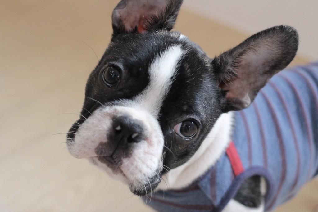 犬の保育園 ばうびー しつけ トレーニング フレンチブルドッグ 新入生