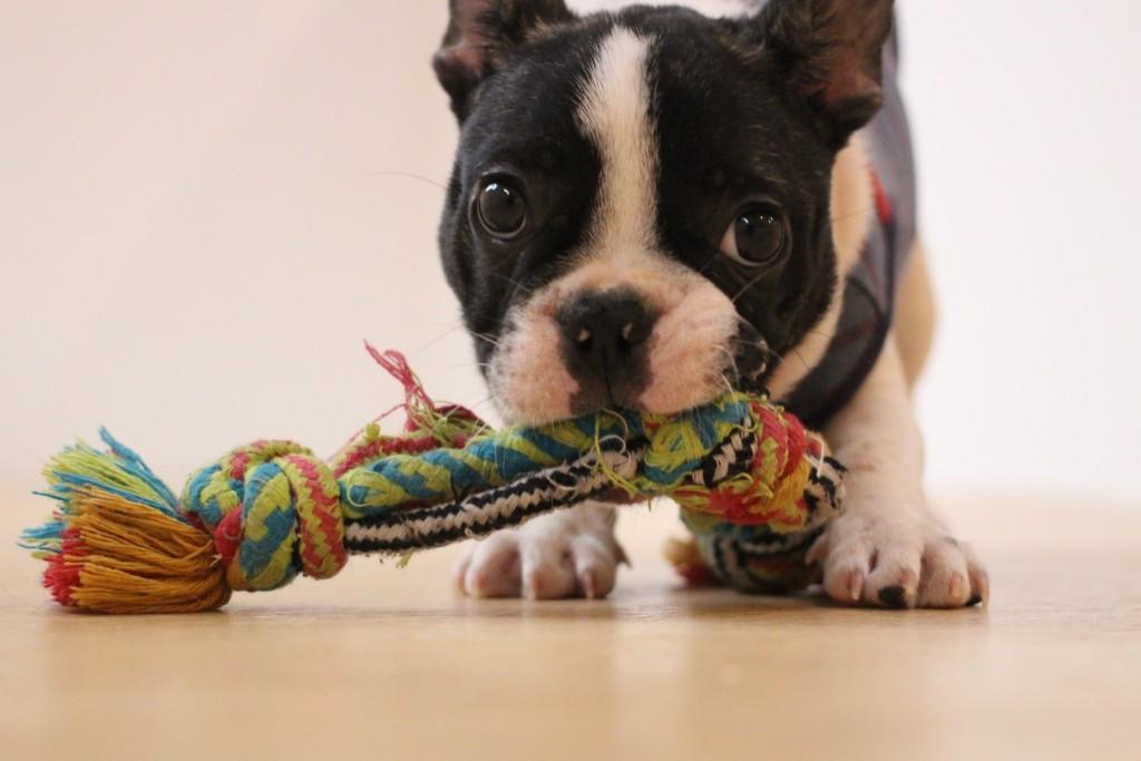 犬の保育園 ばうびー しつけ トレーニング フレンチブルドッグ おもちゃ遊び 新入生 パピー