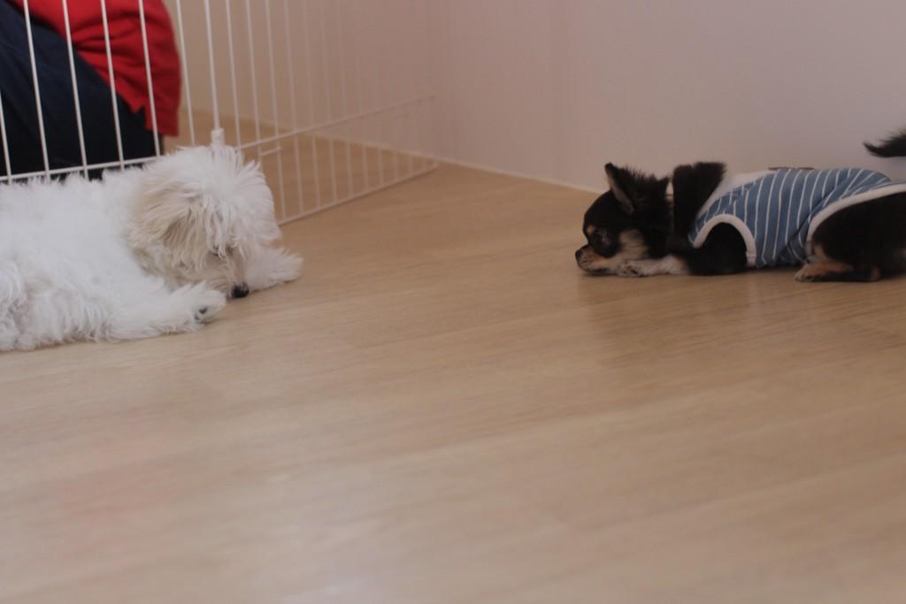 チワワ トイプードル マルチーズ 犬の保育園 バウビー しつけ トレーニング 体験入園