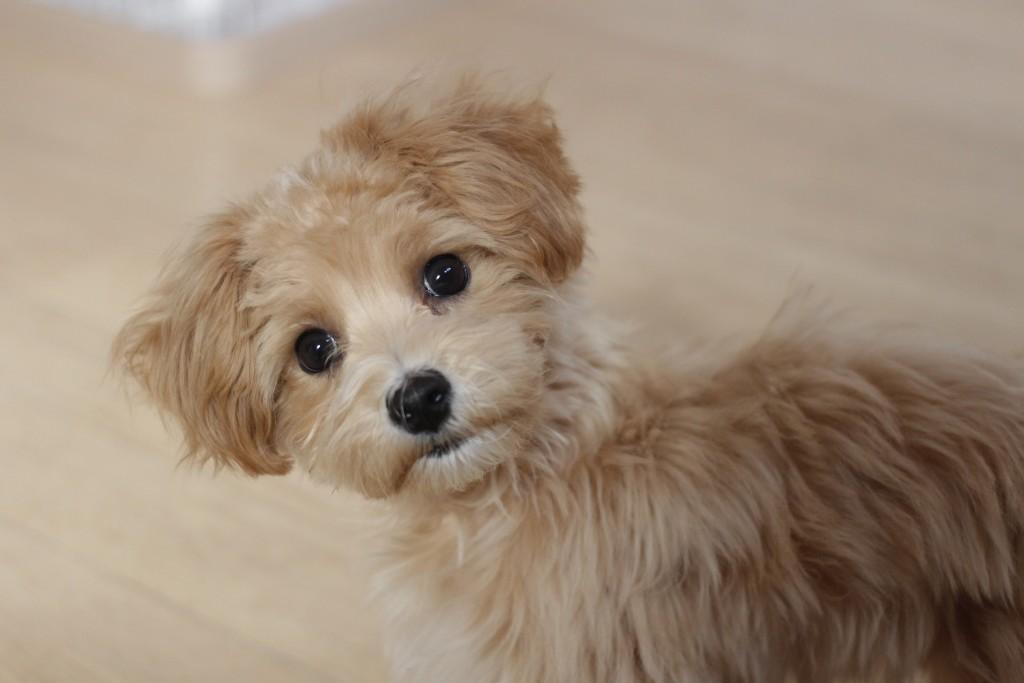 マルチーズ トイプードル 犬の保育園 バウビー しつけ トレーニング 体験入園 パピー