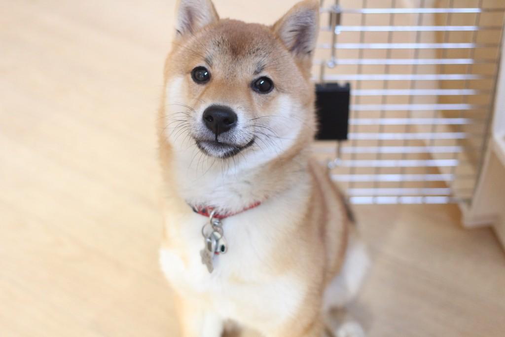 犬の保育園 ばうびー しつけ トレーニング 豆柴 クレートトレーニング オスワリ