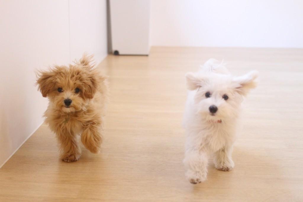 犬の保育園 ばうびー しつけ トレーニング マルチーズ トイプードル MIX 2頭 遊び
