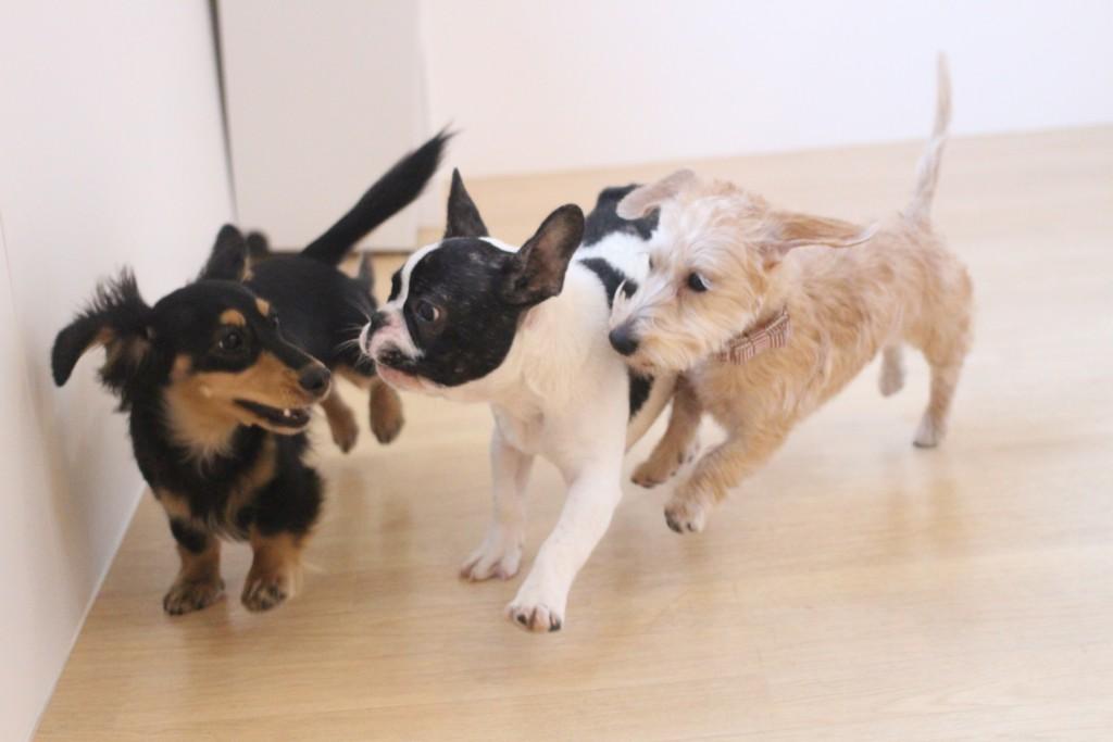 犬の保育園 ばうびー しつけ トレーニング ワイヤーヘアードミニチュアダックスフンド フレンチブルドッグ 3頭 遊び