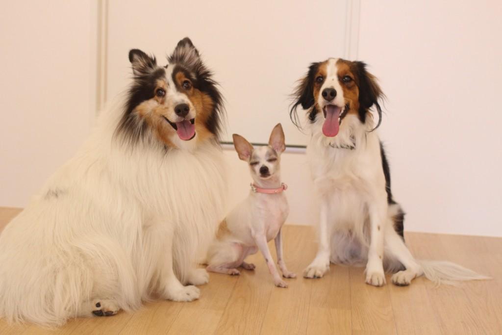 犬の保育園 ばうびー しつけ トレーニング ミニチュアピンシャー チワワ コイケルホンディエ シェルティー